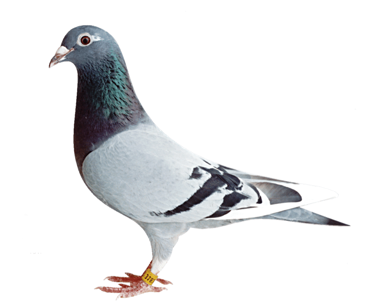 Fantasy Pigeon Racing